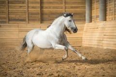 White horse runs gallop in the manege. White PRE horse runs gallop in the manege Royalty Free Stock Image