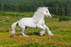 White horse runs gallop on the meadow. In summer stock photo