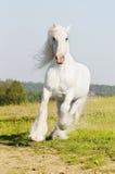 White horse runs gallop on the meadow. White Shire stallion runs gallop on the meadow in summer Stock Photos