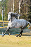 White horse runs gallop on the meadow. White andalusian stallion runs gallop on the meadow in summer Stock Photography