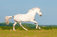 White horse runs gallop on the meadow stock image