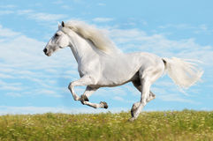 White horse runs gallop on the meadow Stock Images