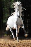White horse runs gallop in sand. White andalusian horse runs gallop in summer Stock Photo