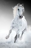 White horse runs gallop in winter Royalty Free Stock Images