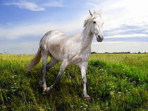 White horse runs on the meadow Stock Image