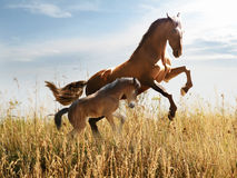 White horse runs on the meadow Stock Images