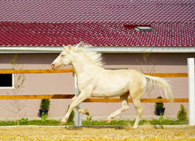White horse runs in the paddock Royalty Free Stock Images