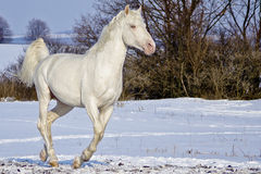 White horse runs in the snow field Stock Photos