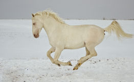 White horse runs in the snow field Royalty Free Stock Photography