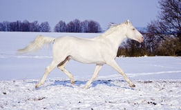 White horse runs in the snow field on the background of  evening sky Royalty Free Stock Image