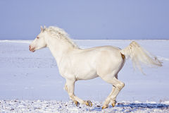 White horse runs in the snow field Stock Images