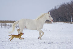 White horse runs in the snow field with a fun dog Stock Photo