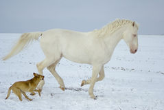 White horse runs in the snow field with a fun dog Royalty Free Stock Images
