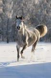 White horse runs trot. Arabian white horse in winter Royalty Free Stock Photos