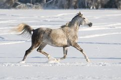 White horse runs trot Royalty Free Stock Images