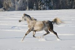 White horse runs trot Royalty Free Stock Photography