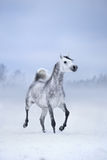 White horse runs on windy winter background. Arabian horse Royalty Free Stock Images