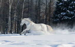 White horse Stock Images