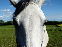 White horse's eyes. Eye to eye with a white horse out at feed Stock Images