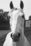 White horse's portrait. Closeup of the horse's head Stock Photography