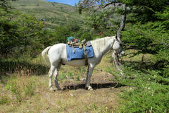 White horse with saddle in the forest Royalty Free Stock Image