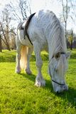 White horse with saddle graze and eating grass Royalty Free Stock Images