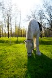 White horse with saddle graze and eating grass Stock Images