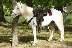 White horse with saddle Royalty Free Stock Photography