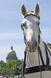 White horse in Saint-Petersburg city, Russia. Royalty Free Stock Photo