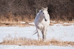 A White Horse Set Against a Snowy Background. A white horse stands in a field with a white snowy background in the early spring months Stock Image