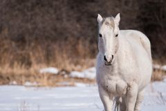 A White Horse Set Against a Snowy Background. A white horse stands in a field with a white snowy background in the early spring months Royalty Free Stock Images