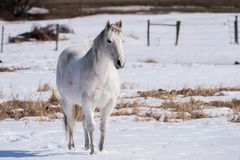 A White Horse Set Against a Snowy Background. A white horse stands in a field with a white snowy background in the early spring months Royalty Free Stock Photography