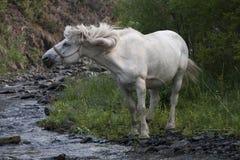 White horse shaking his mane. Creek Beach. Moma Mountains. Yakutia. Russia Stock Photos