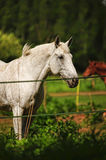 White horse in a shelter Royalty Free Stock Photography