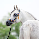 White horse in show halter Stock Photos