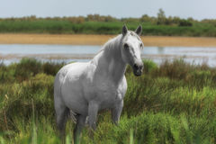 White horse, single animal, Camargue reserve, south France. Beautiful white or light gray stallion at the lagoon of Camargue reserve, Bouches-du-rhone region stock image