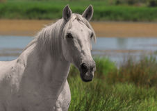 White horse, single animal, Camargue reserve, south France. Beautiful white or light gray stallion at the lagoon of Camargue reserve, Bouches-du-rhone region royalty free stock photos