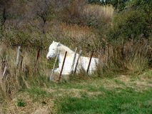 White horse sitting Royalty Free Stock Images