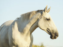 White horse. On the white sky background Royalty Free Stock Photo