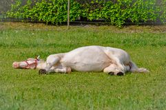 White horse sleeping on a grass in summer stock photography