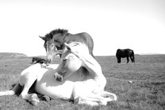 White horse with small horse interaction in the wilderness. Black and white photography evoking love Stock Image