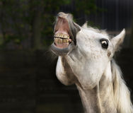 White horse smiling on dark background Stock Photos