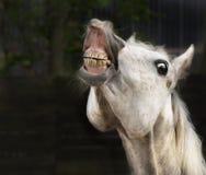 White horse smiling on dark background stock photos