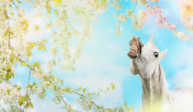 White horse smiling on spring blossom nature background Stock Photo
