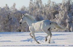 White horse in snow Royalty Free Stock Image