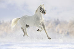 White horse in snow. White horse in a snow forest Royalty Free Stock Photo