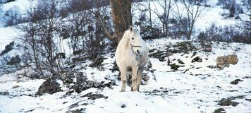 White horse in snow Royalty Free Stock Photography
