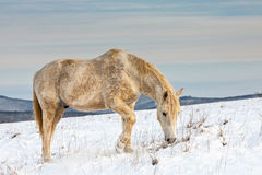 White horse in the snow. Free dray horse looking for food Royalty Free Stock Images