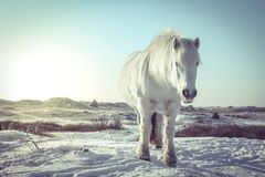 White horse in the snow royalty free stock photo