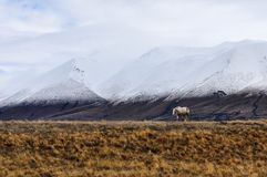 White horse and snowy peaks near Lake Ohau, New Zealand Royalty Free Stock Photo